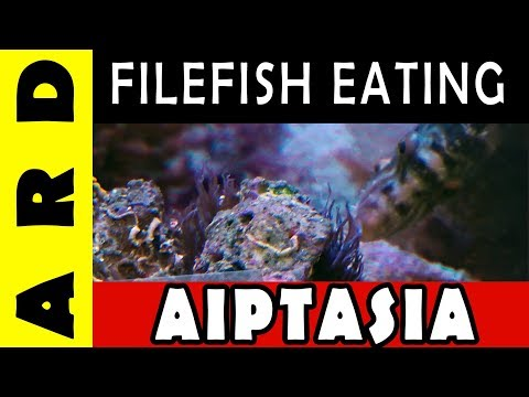Filefish Eating Aiptasia