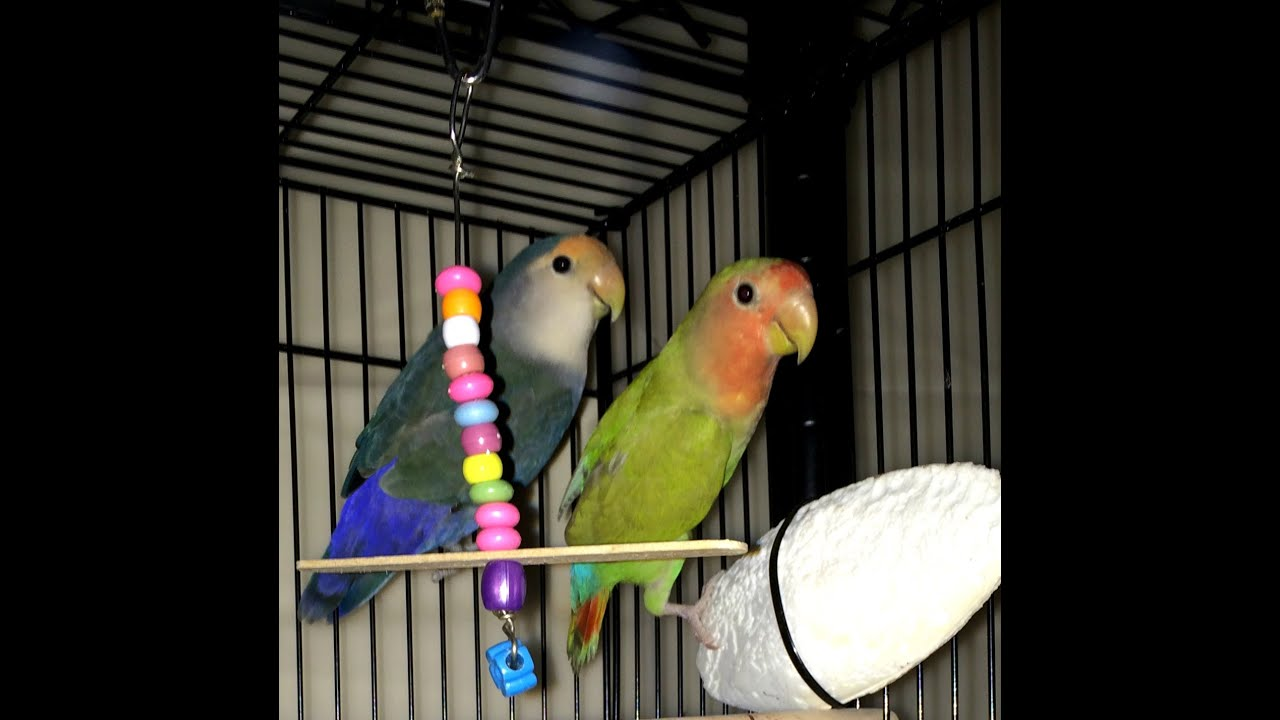 how to get your new lovebird pair to start breeding faster