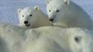 Een ijsbeer getuigt - Spitsbergen