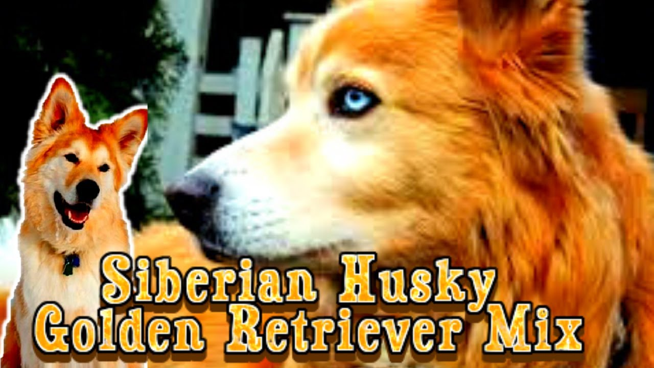 Siberian Husky Golden Retriever Mix Youtube