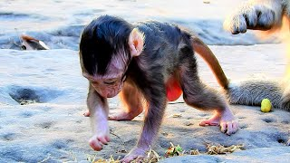 Download lagu Newborn Poor Baby Monkey Very Hungry After Mother Not Feed - Live Poor Baby Monkeys Try To Find Food