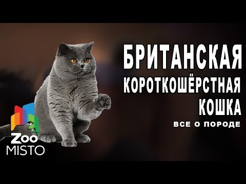 Британская короткошёрстная - Все о породе кошки | Кошка породы - Британская короткошёрстная