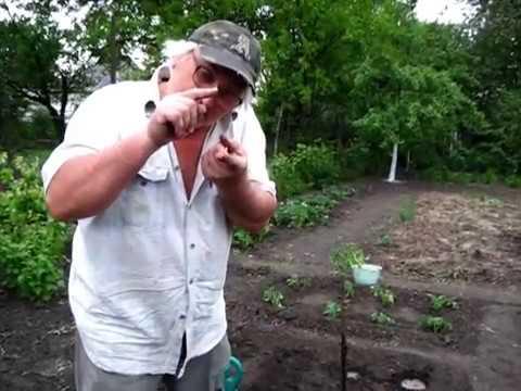 Мой метод посадки рассады помидоров  в открытый грунт