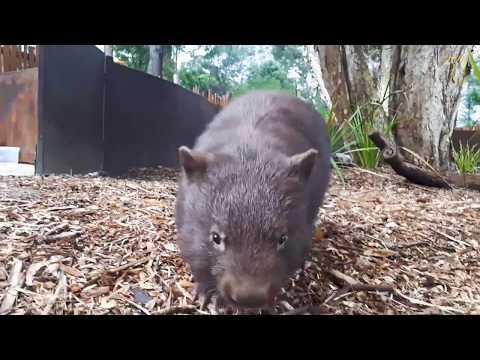 可愛警告:澳洲超萌袋熊「暴衝」啦!《國家地理》雜誌
