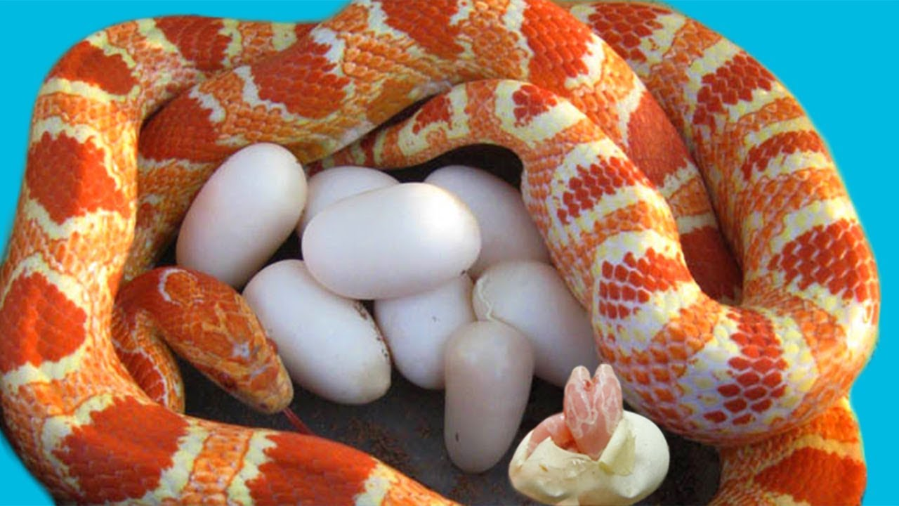 Corn Snake Laying Many Eggs And Cute Baby Snake Hatching Reptile S Story Youtube,How To Get Rid Of Flies In Potted Plants