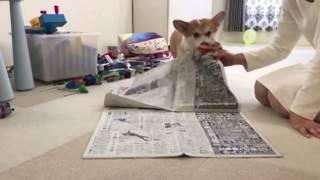 新聞を広げると何故か邪魔をする我が家のコーギーです。