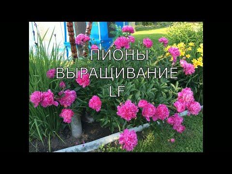 Пионы садовые многолетние.Выращивание.Видео обзор пионов+названия.