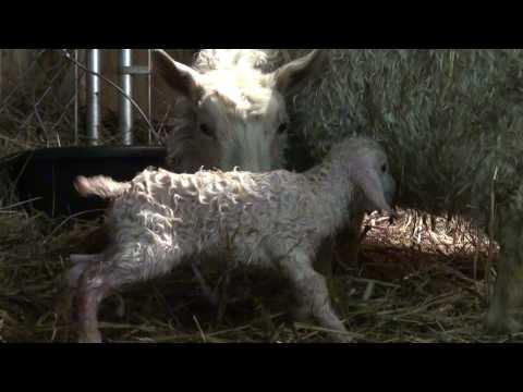 Newborn Pygora goat