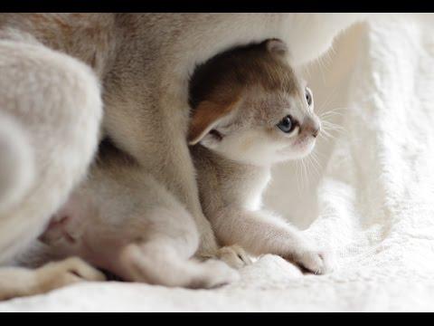 Singapura cat Family