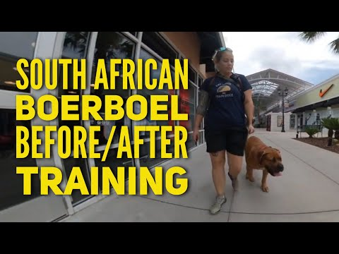 obedience-training-for-south-african-boerboel,-5-mo-old-charger