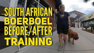 Obedience Training for South African Boerboel, 5 mo old Charger