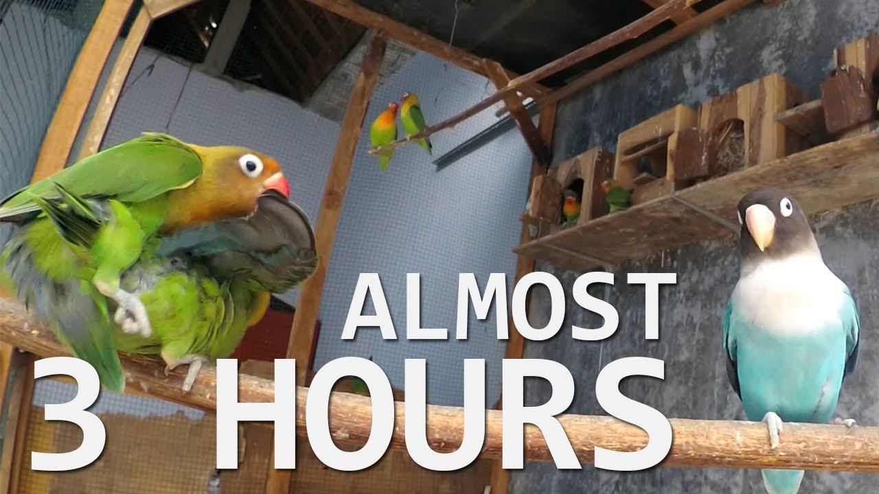 Lovebirds Sounds 2 Hours - October 2 2018