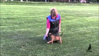 Начальное обучение щенка малинуа