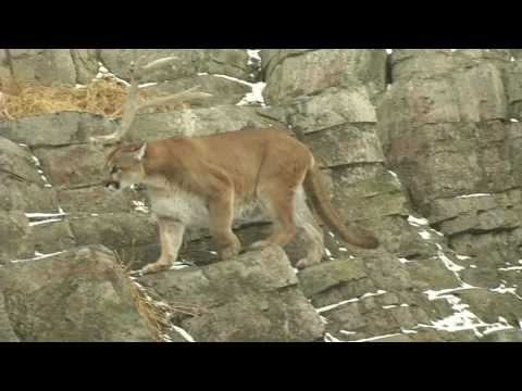 Top 10 Iconic Canadian Animals - Cougar