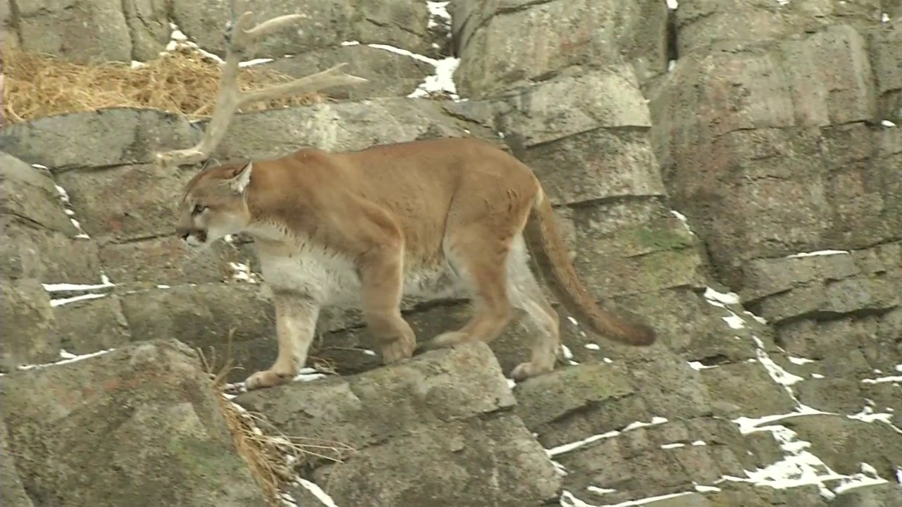 Cougars in canada