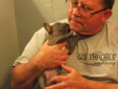 French Bulldog Puppies ~ Oregon French Bulldog Breeders ~ Natalie Pups