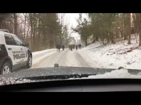 Wayward herd of cattle closes down road in Greenfield before owner lures them away with feed (Video)