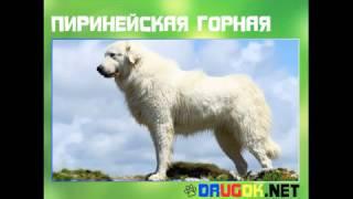 Пиринейская горная собака