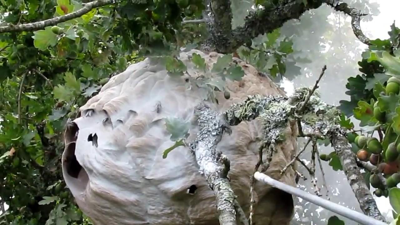 destructions d 39 un nid de frelons asiatiques 20 m de hauteur mov youtube. Black Bedroom Furniture Sets. Home Design Ideas