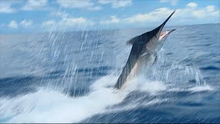 Giant Grander Black Marlin - IFISH
