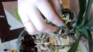 Пересадка орхидеи фаленопсис новичком. За 7 минут, семь минут. Первая пересадка орхидеи.(Первый раз пересаживала орхидею. Как это сделать самостоятельно - не знала и не умела. Посмотрела кучу ролик..., 2014-12-18T05:12:25.000Z)
