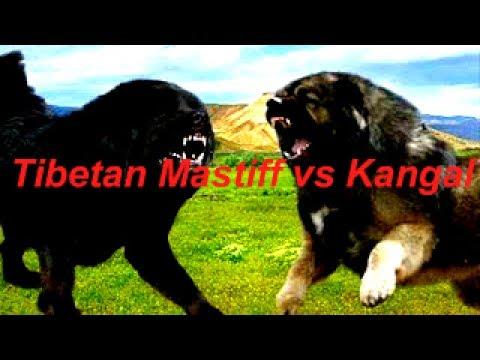 Kangal vs Tibetan Mastiff - Which of them is the best?