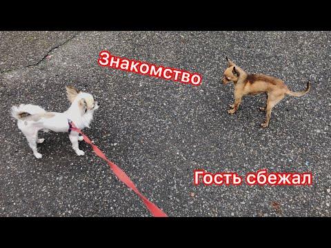 Знакомлю собак. От нас убежал гость. / Дарья FOX