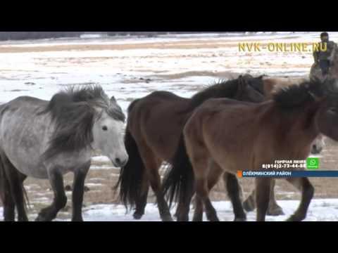 В Олекминском районе провели учения по отгону скота при паводке