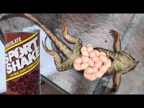 Harvesting Iguana Eggs For Protein Shakes!