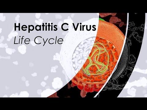 Hepatitis C Virus Life Cycle