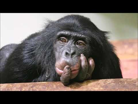 Meat eating chimps that hunt baby monkeys and devour the BRAIN first