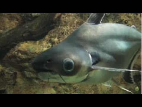 Culture Technology Of Pangasius