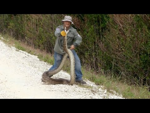 Catching a Python is No Easy Feat