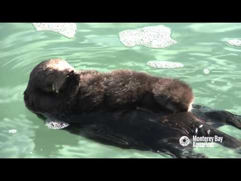 Otter moms have their paws full!