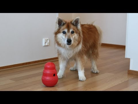 Dog vs. Kong Wobbler | Hötti the Icelandic Sheepdog