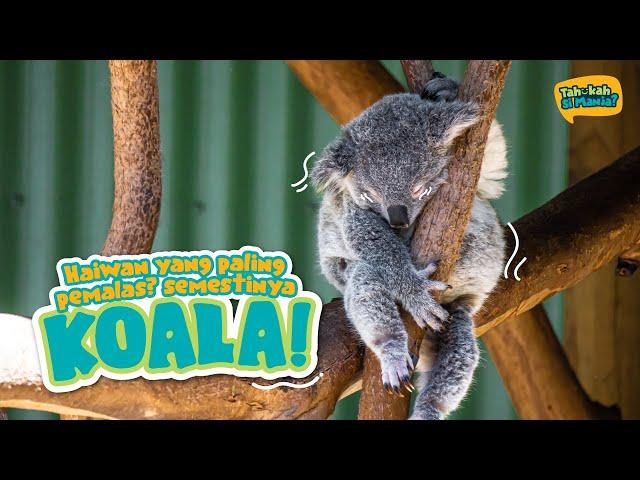 Tahukah Si Manja Eps 7 - Koala