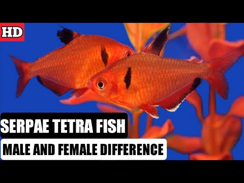 Difference Between Male And Female Serpae Tetra Fish /  Male And Female Serpae Tetras.