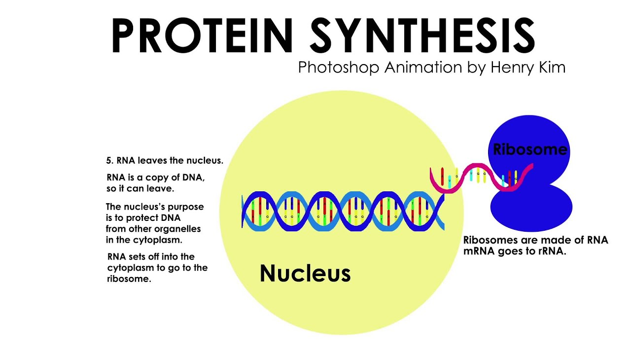 systhesis animation Transcription factors assemble at the promoter region of a gene, bringing an rna polymerase enzyme to form the transcription initiation complex activator proteins at the enhancer region of dna then activate the transcription initiation complex.