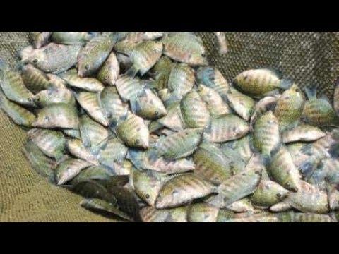FISH FARM ALAPPUZHA