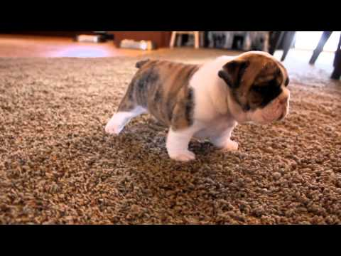 English Bulldog puppies learning to walk for the first time