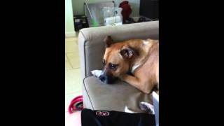 Houdini - German Shepherd Boxer Mix