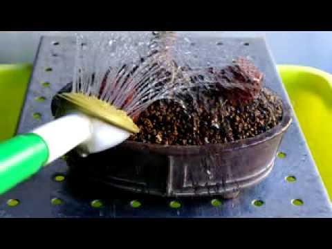 Bonsai Come Annaffiare Un Bonsai Youtube