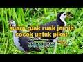 Suara Ruak Ruak Paling Jernih Cocok Untuk Pikat  Manjur  Mp3 - Mp4 Download