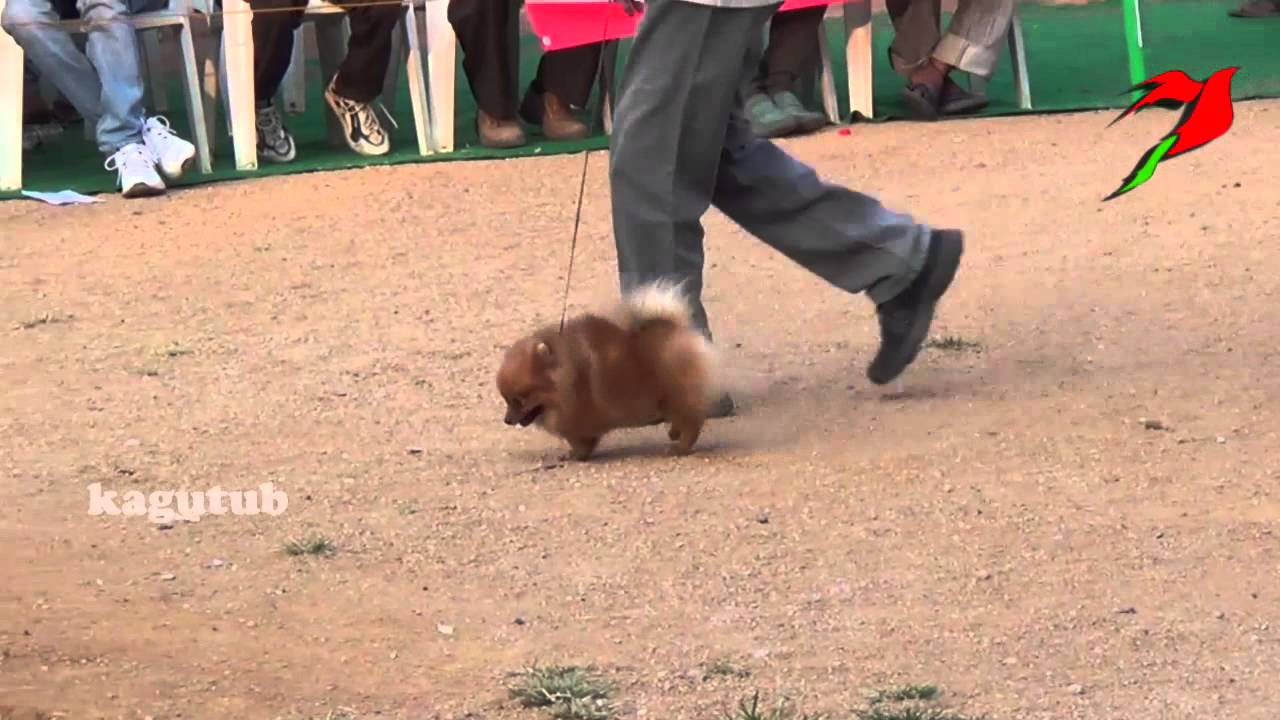 Pomeranian is a breed of dog of the spitz type named for the