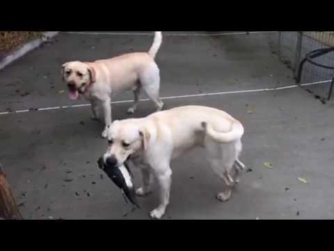 Dog Training Duck Hunting Labrador Retriever