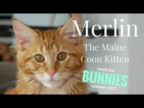 Merlin the Maine Coon Kitten (20 Weeks) meets the BUNNIES!
