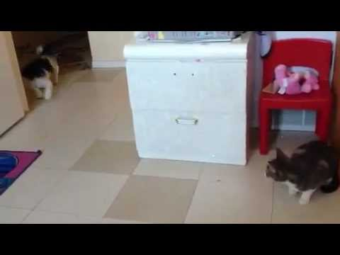 Dog Gets Chased By Cat