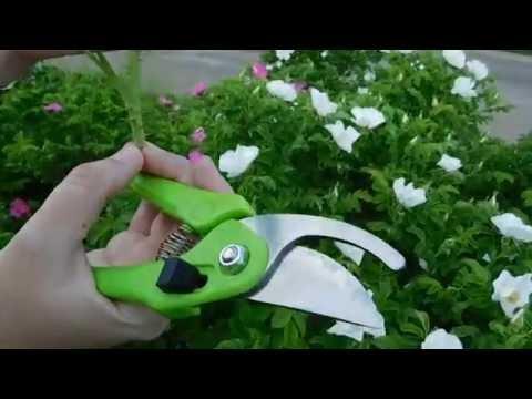 Шиповник - декор и подвой для роз ! Выращивание .