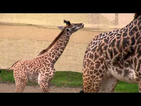 Thumbnail: Baby Giraffe Zuri at 1month - Cincinnati Zoo