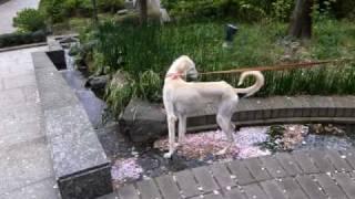 保護犬のサルーキのサラちゃん チョロチョロ小川にも躊躇無く入っていき...